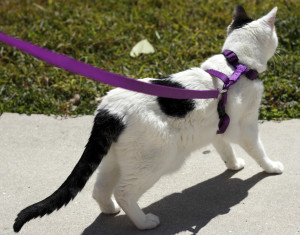 Cat on a Purple Leash