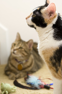 Tabby and Calico Looking Away from Camera