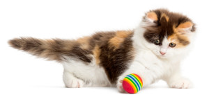 Side view of an Higland straight kitten playing with a ball, isolated on white