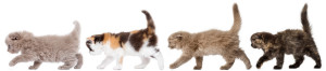 Side view of Highland fold kittens walking in line, isolated on white