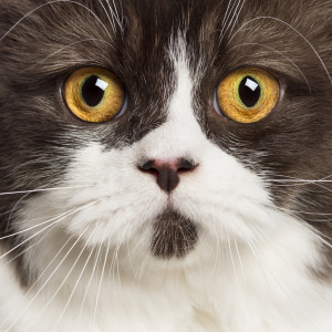Close up of a British longhair looking at camera against white background