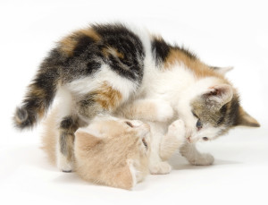 Two cats playing on white background