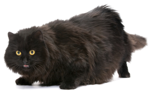 Black cat.