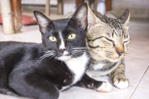 Two Thai cat are sitting